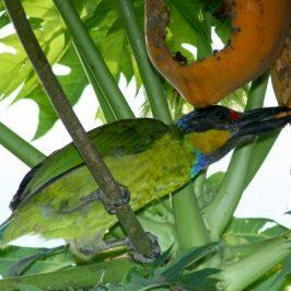 Gold-whiskered Barbet and papaya