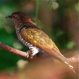 Asian Emerald Cuckoo: Confirmed record for Singapore