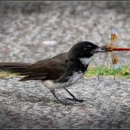 Pied Fantail takes a dragonfly