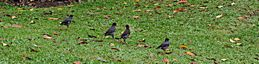 Foraging behaviour of mynas