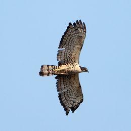 Oriental Honey Buzzard or Blyth's Hawk Eagle?