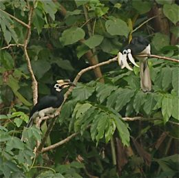 Oriental Pied Hornbill interlocking bills