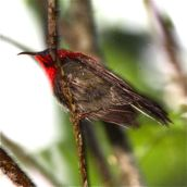Crimson Sunbird in the rain