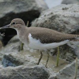Common Sandpiper: Foraging behaviour