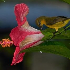 Olive-backed Sunbird robbing hibiscus nectar
