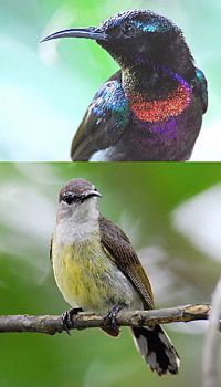 Copper-throated Sunbird: Nesting failure