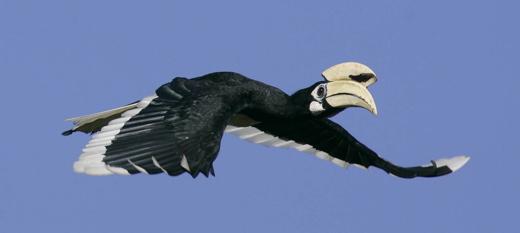 Tracking the Oriental Pied Hornbill in Pulau Ubin