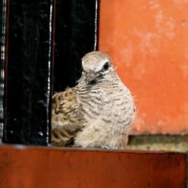 ZEBRA DOVES – 8. The final saga