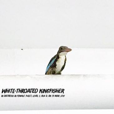 White-throated Kingfisher found in school toilet
