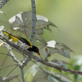 <strong>Dark-throated Oriole catching caterpillar</strong>