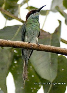 Bee-eater hybrid… 2