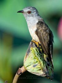 SABAH Birding-Nature Holiday – List of birds, etc.
