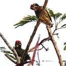 Of nestlings' diet and Coppersmith Barbets (Part 5)