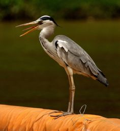Grey Heron and Blue-tailed Bee-eater cooling off