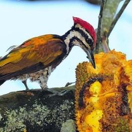 Common Flameback eating chempedak