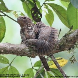 Fledglings: Triller and frogmouth