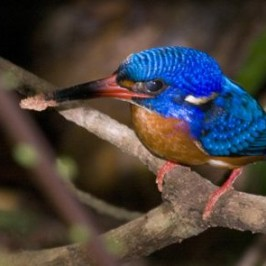Nesting of the Blue-eared Kingfisher in Singapore