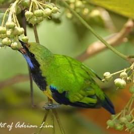 Orange-bellied Leafbird taking fruits