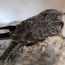 Roosting of Savanna Nightjar