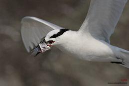 Black-naped Tern feeding chick