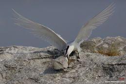 Black-naped Tern feeding chick