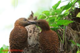 Rufous Woodpecker feeding juvenile