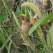 Baya Weaver, acacia and pennisetum grass