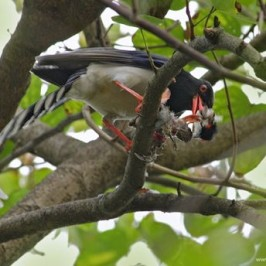 Blue Magpie eating Red-whiskered Bulbul