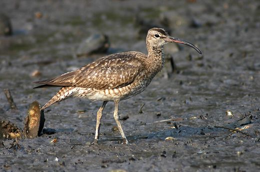 Whimbrel in record migratory flight distance