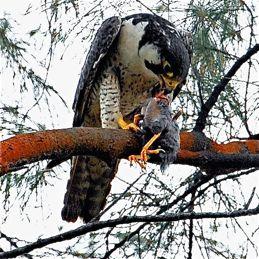 Peregrine Falcon feasting on a Javna Myna