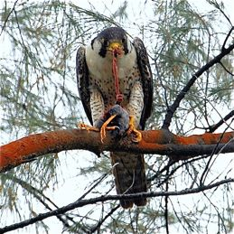 Peregrine Falcon feasting on a Javna Myna