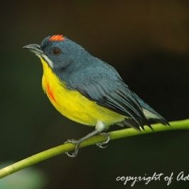 The male Crimson-breasted Flowerpecker