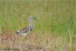 Chinese Pond Heron washing food before eating