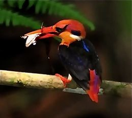 Oriental Dwarf Kingfisher catching a frog