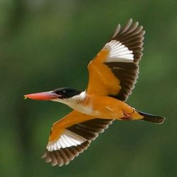 Black-capped Kingfisher in flight