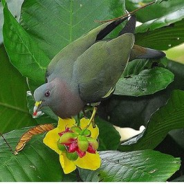 Pink-necked Green Pigeon eating seeds of yellow simpoh