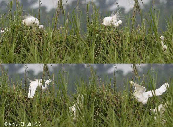 Intermediate Egret breeding in Peninsular Malaysia [IV]
