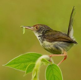 Family of tailorbirds