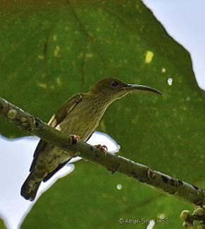 Birds feeding on fruits of Macaranga bancana