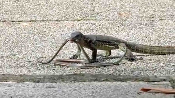 Malayan Water Monitor battles a snake