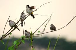 Sighting of Sooty-headed Bulbul