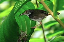 Common Tailorbird's food menu