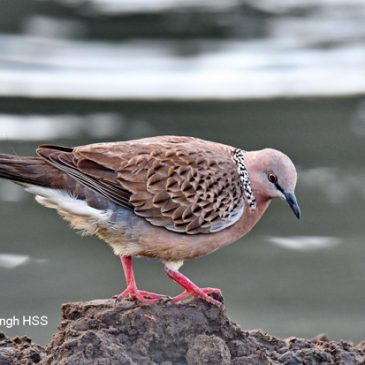 Spotted Dove – food source