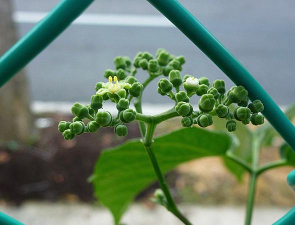 Cayratia molissima fl