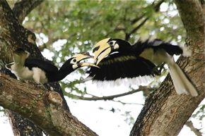 Oriental Pied Hornbills in Pasir Ris Park