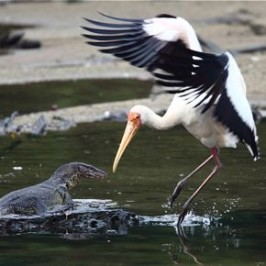 Milky Stork interacting with Malayan Water Monitor