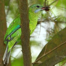A handicapped Blue-winged Leafbird
