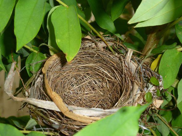 Nest of Red-whiskered Bulbul (Credit: YC Wee}