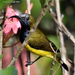 Olive-backed Sunbirds moulting