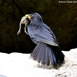 Adult Blue Whistling Thrush with prey for young